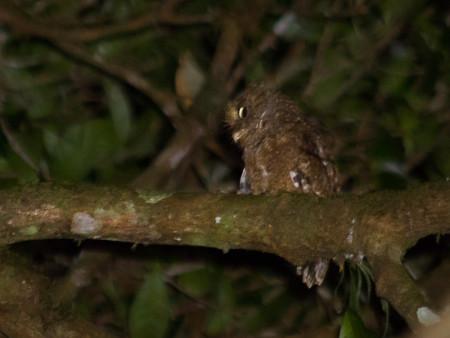 Mountain Scops Owl (Otus spilocephalus)
