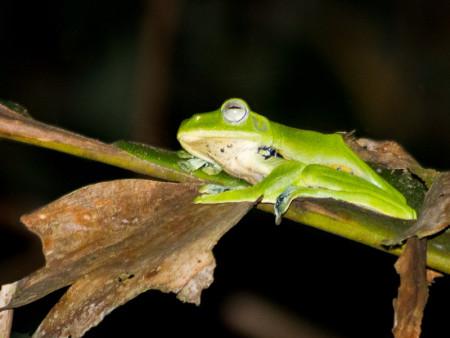 Norhayati's Flying Frog (Rhacophorus norhayatii)