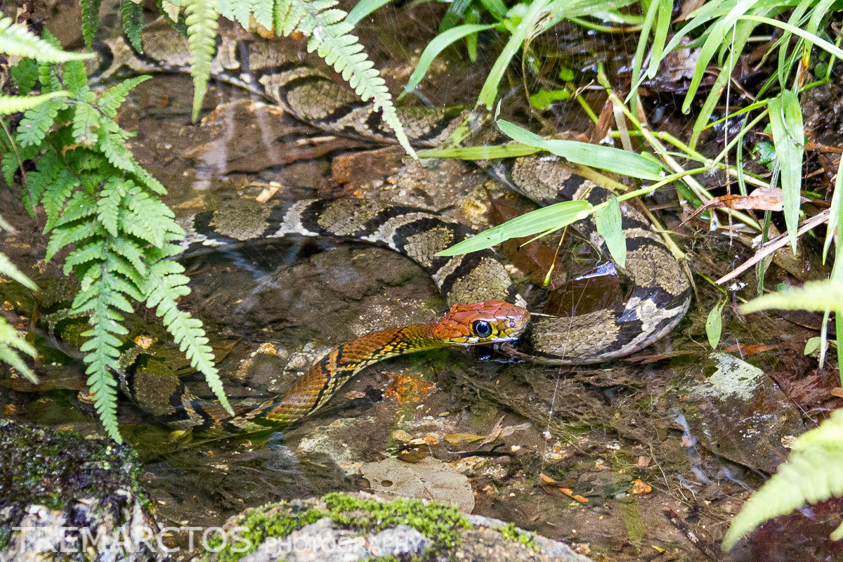 Ocellated Brown Snake