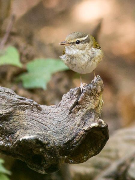 Pale-legged Leaf-warbler (Phylloscopus tenellipes)