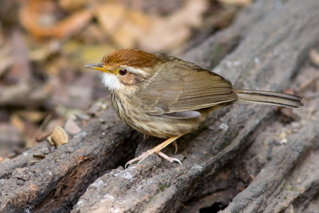 Puff-throated Babbler (Pellorneum ruficeps)