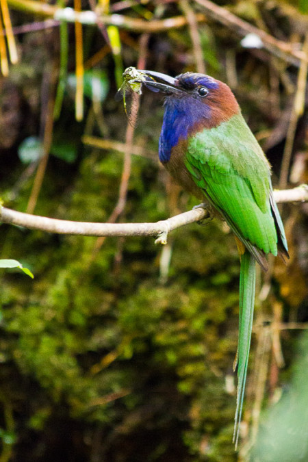 Purple-bearded Bee-eater (Meropogon forsteni)