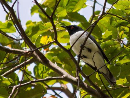 Pygmy Cuckooshrike (Coracina abbotti)