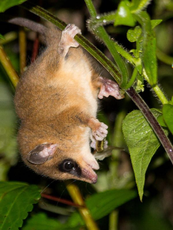 Robinson's Mouse Opossum