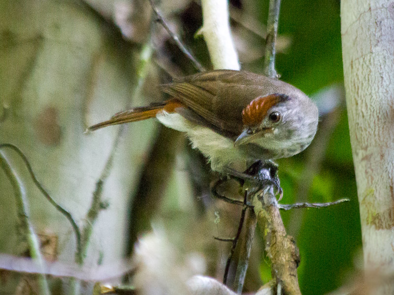 Rufous-crowned Babbler