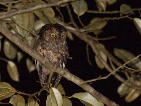 Sangihe Scops-owl (Otus collari)