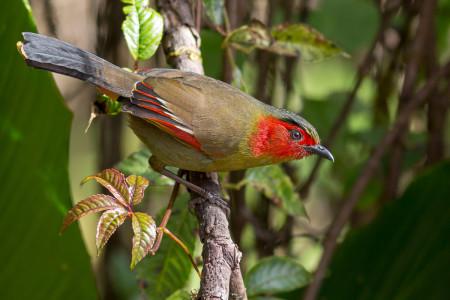 Scarlet-faced Liocichla (Liocichla ripponi)