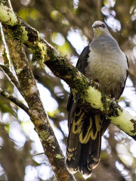 Sombre Pigeon (Cryptophaps poecilorrhoa)