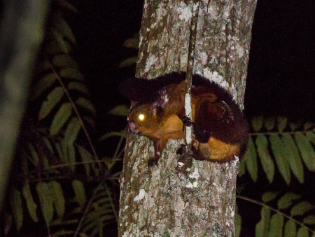 Spotted Giant Flying Squirrel (Petaurista elegans)