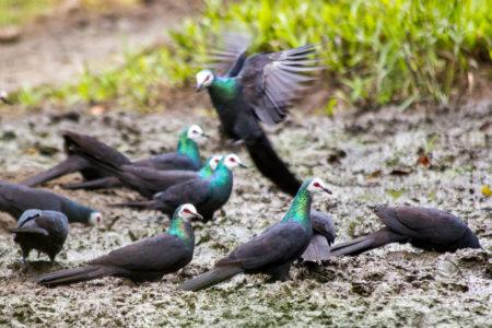 Sulawesi Black-pigeon (Turacoena manadensis)