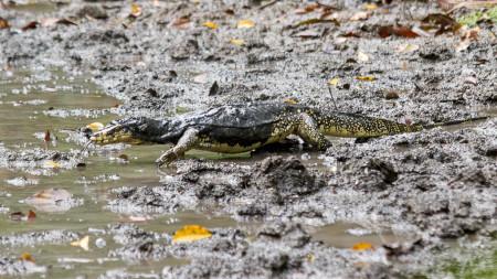 Sulawesi Water Monitor (Varanus salvator)