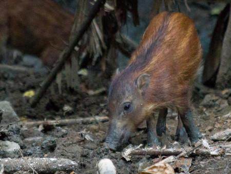 Baby Sulawesi Warty Pig (Sus celebensis)