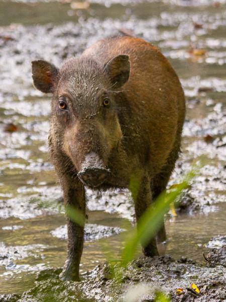 Female Sulawesi Warty Pig (Sus celebensis)