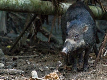 Male Sulawesi Warty Pig (Sus celebensis)