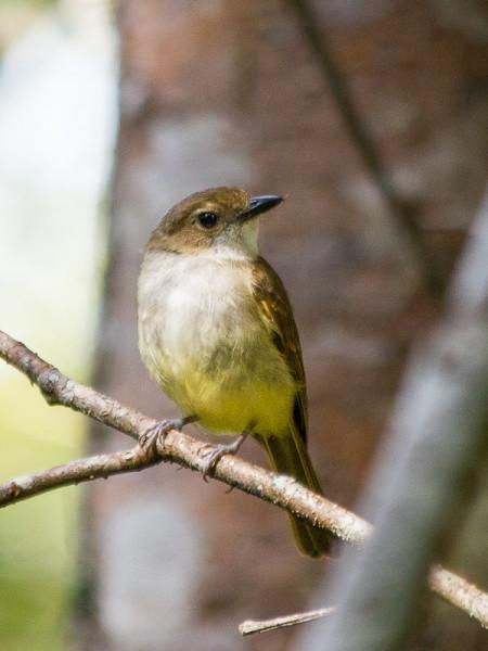 Sulphur-vented Whistler (Pachycephala sulfuriventer)