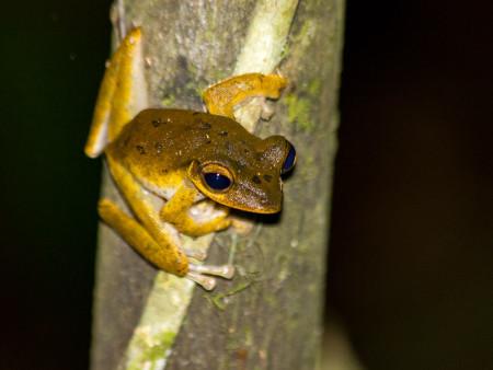 Four-lined Tree Frog (Polypedates leucomystax)