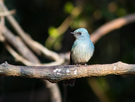 Verditer Flycatcher (Eumyias thalassinus)