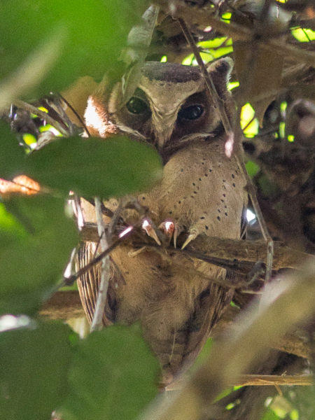 White-fronted Scops Owl (Otus sagittatus)