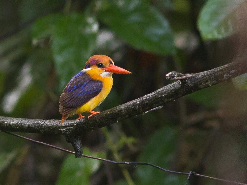 Black-backed Dwarf Kingfisher