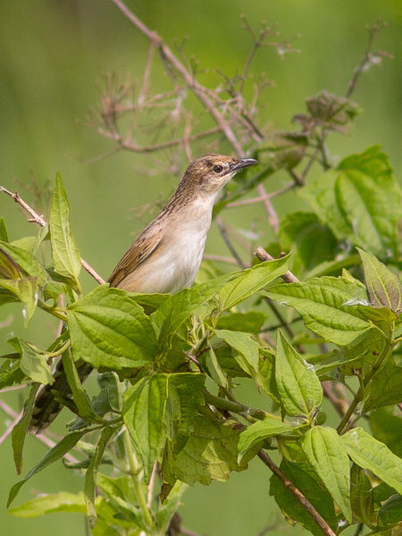 Bristled Grassbird (Chaetornis striata)