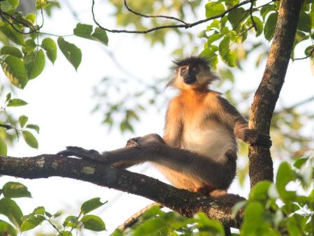 Capped Langur lounging (Trachypithecus pileatus)