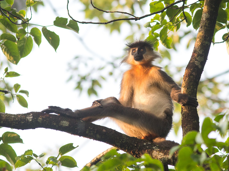 Capped Langur lounging