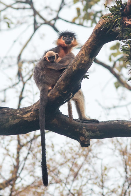 Capped Langur with Baby (Trachypithecus pileatus)