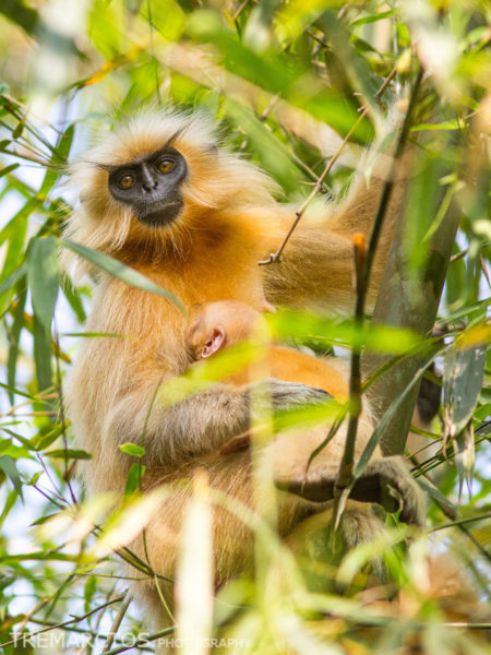 Golden Langur with Baby
