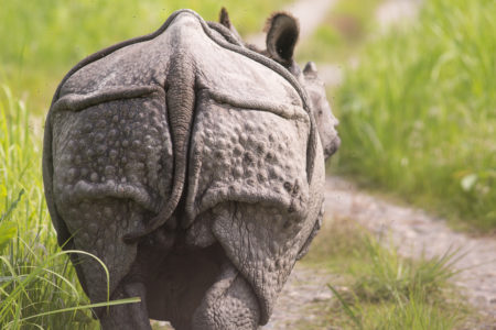 Indian Rhino Butt (Rhinoceros unicornis)