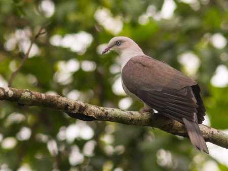Mountain Imperial Pigeon (Ducula badia)