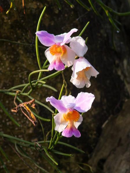 Orchid (Papilionanthe teres)
