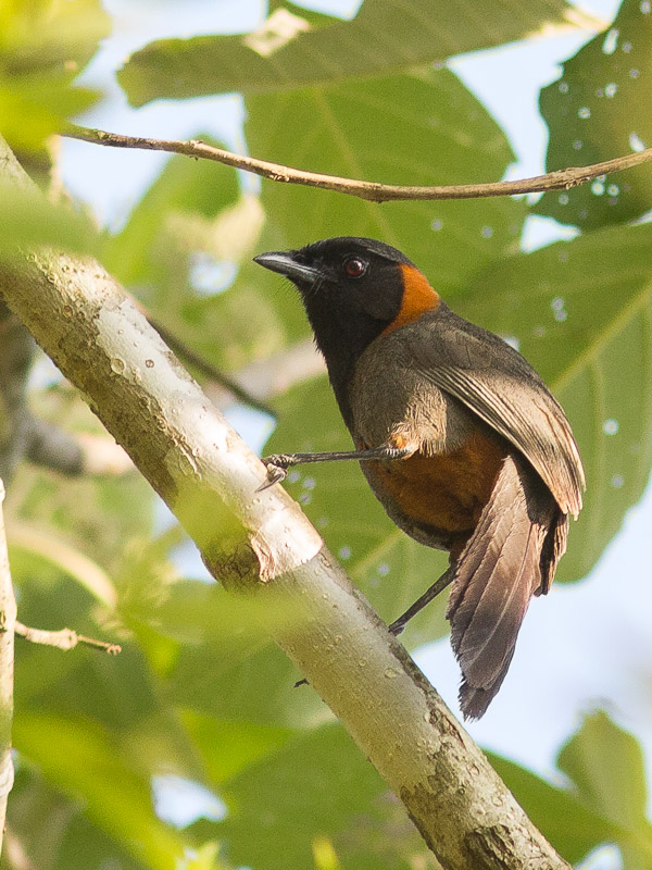 Rufous-necked Laughingthrush