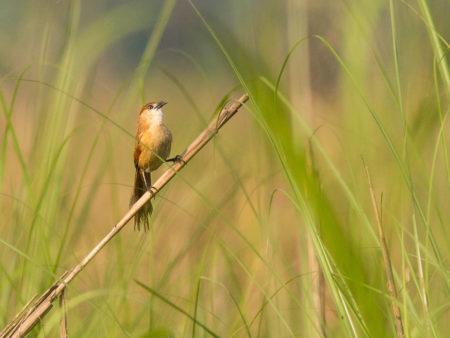 Slender-billed Babbler (Turdoides longirostris)