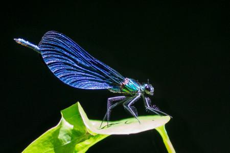 Beautiful Demoisille (Calopteryx virgo festiva)