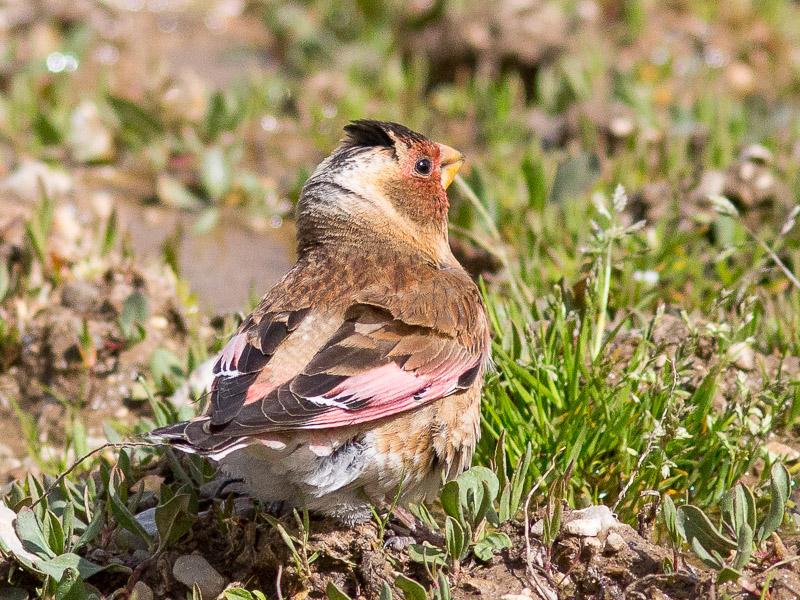 Eurasian Crimson-winged Finch