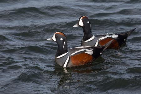 Harlequin Ducks (Histrionicus histrionicus)