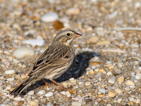 Ipswich Sparrow (Passerculus sandwichensis princeps)
