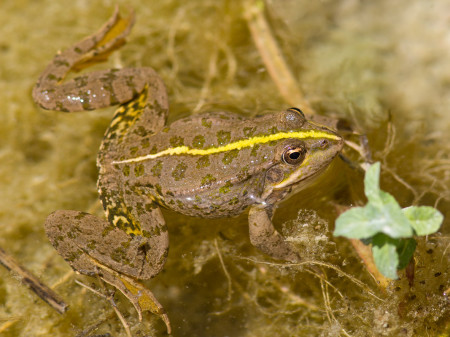 Levant Water Frog (Pelophylax bedriagae)