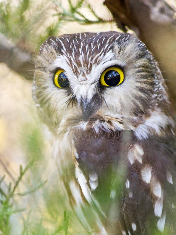 Grumpy Northern Saw-whet Owl