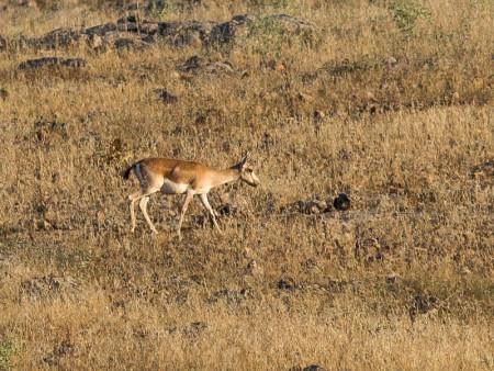 Persian Goitered Gazelle (Gazella subgutturosa subgutturosa)