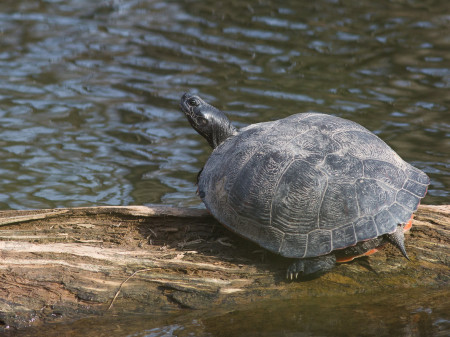 American Red-bellied Turtle (Pseudemys rubriventris)