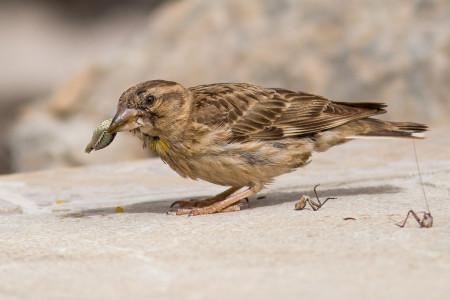 Rock Sparrow (Petronia petronia)