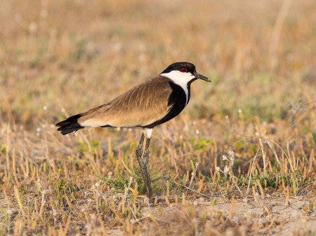Spur-winged Plover (Vanellus spinosus)