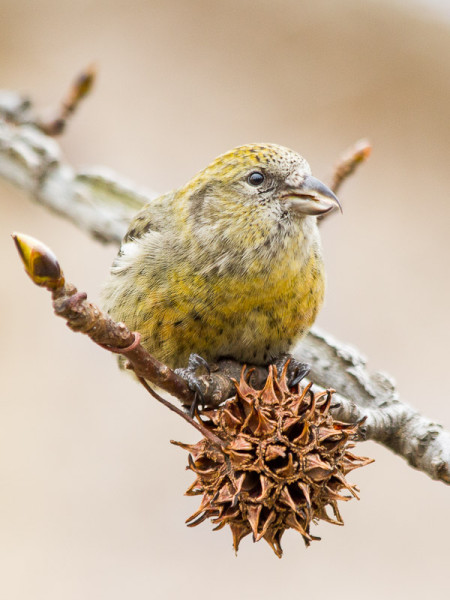 Female White-winged Crossbill (Loxia leucoptera)