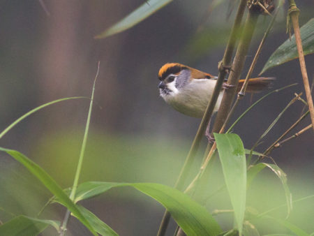 Black-throated Parrotbill (Paradoxornis nipalensis)