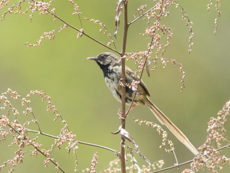 Black-throated Prinia (Prinia atrogularis)