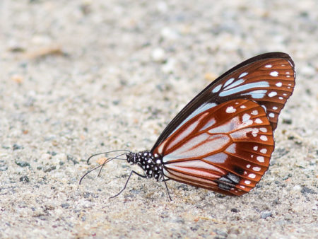 Chestnut Tiger Butterfly (Parantica sita sita)