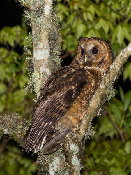Himalayan Owl (Strix nivicolum)