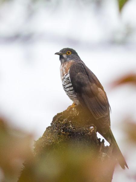 Large Hawk-cuckoo (Hierococcyx sparverioides)