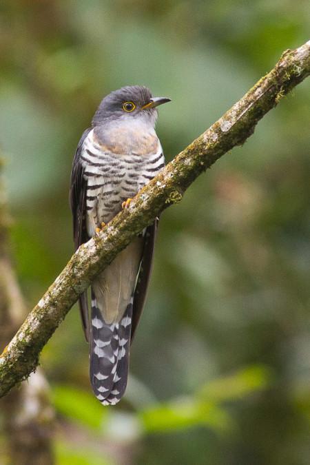 Lesser Cuckoo (Cuculus poliocephalus)